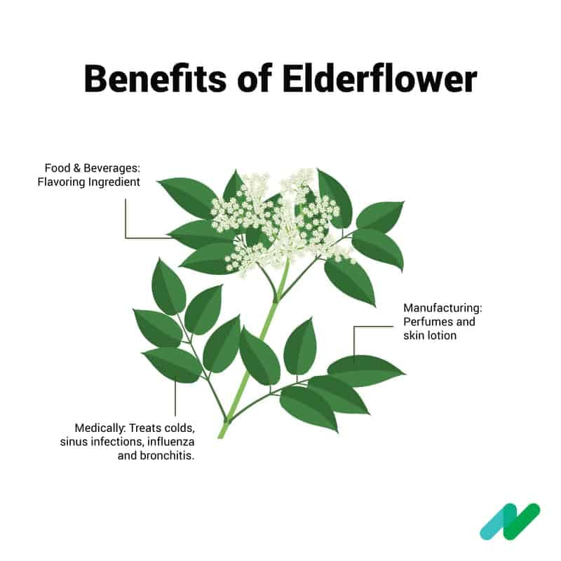 Infographic Elderflower