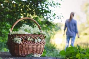 elderflower being picked in basket