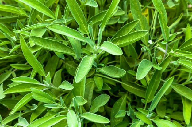Fresh Sage Herb